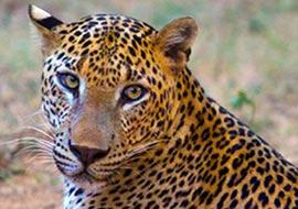 Tiger-Sri-Lanka_S
