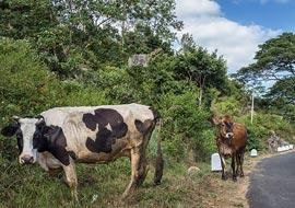 Cow-Road-Sri-Lanka_S