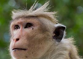 Monkey-Animal-Sri-Lanka_S