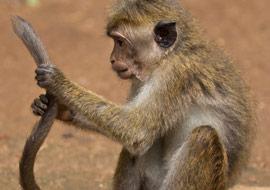 Monkey-Tail-Animal-Sri-Lanka_S