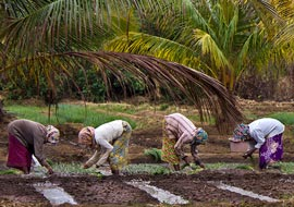 Onion-Pickers-Woman-Nature-Sri-Lanka_S