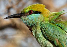 bee-eater-Bird-Animal-Sri-Lanka_S