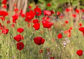 Flower-RedField-Freebies_S