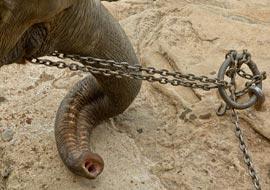 Elephant-tied-up-Freebies_S