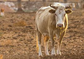 Bull-Animal-Freebies_S