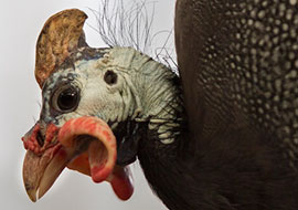 Chiken-Bird-Animal_S