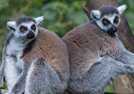 Lemur-Animal_S