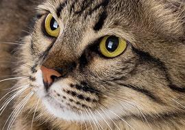 חתול רחוב